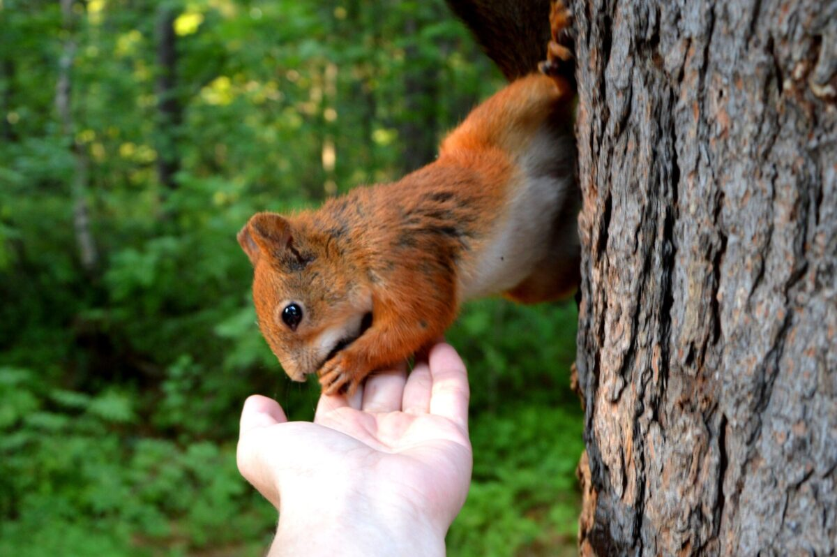 The squirrel eats