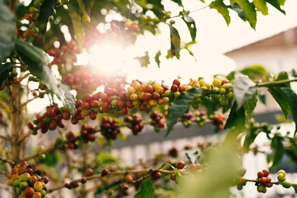 Red and Yellow Coffee Berries on Branch